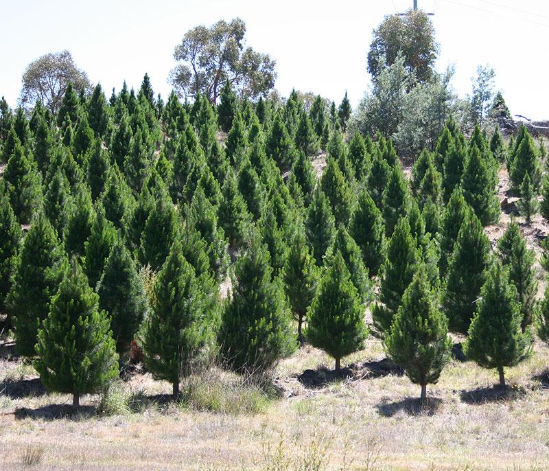 fr slider7; fr slider1; fr slider2 ... - Buy Christmas Trees Canberra Christmas Tree Keng